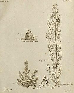 Salsola sedoides Pallas, Voyages.jpg