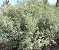Salton Sea - Honey Mesquite (Prosopis glandulosa).JPG