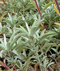 Salvia apiana 2.jpg