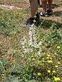 Salvia argentea . - LAMIACEAE - Flickr - gailhampshire.jpg