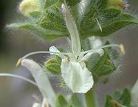 Salvia austriaca (flower)