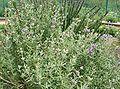 Salvia clevelandii1.jpg