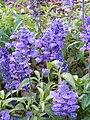 Salvia farinacea 'Victoria' (Scott Zona) 001.jpg