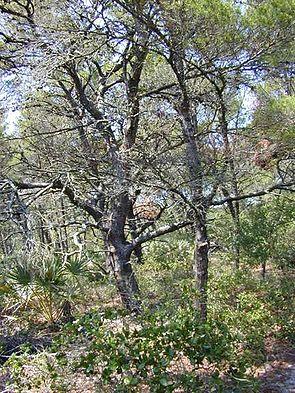 Sand-Kiefer (Pinus clausa)