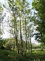 Saplings near to Elsiegate - geograph.org.uk - 580799.jpg