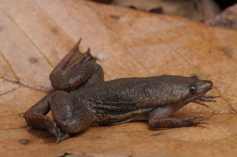Sapo-de-Suriname-formación-de-huevos-dentro