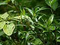 Sarcococca saligna (7788815444).jpg