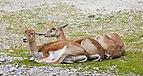 Sasin (Antilope cervicapra), Tierpark Hellabrunn, Múnich, Alemania, 2012-06-17, DD 01.jpg