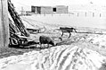Sau på vinterbeite i Vadsø (1940) (4733729834).jpg