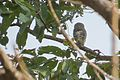 SaurabhSawant Forest Owlet Tansa IMG 5997.jpg