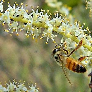 Saw Palmetto & Honey Bee
