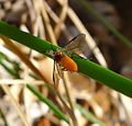 Sawfly^ with Fungus infection - Flickr - gailhampshire.jpg