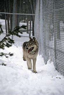 Photograph of a wolf walking on snow in a pen