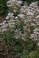 Saxifraga cotyledon 'Southside Seedling'.jpg