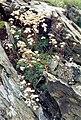 Saxifraga paniculata (Pyrenees) 1.jpg
