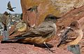 Say's Phoebe From The Crossley ID Guide Eastern Birds.jpg