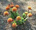 Scadoxus puniceus Durban Botanic 04 09 2010.JPG