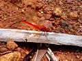 Scarlet Dragonfly (Crocothemis erythraea) at Kambalakonda 01.jpg