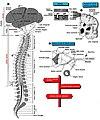 Schematizzazione del Sistema nervoso 01 organiz.jpg