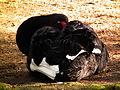 Schlafender Trauerschwan Vogelpark Viernheim 2012.JPG