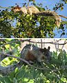 Sciurus aureogaster-- The Mexican Grey Squirrel (24440894595).jpg
