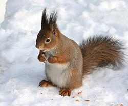 Sciurus vulgaris in snow - Helsinki, Finland.jpg