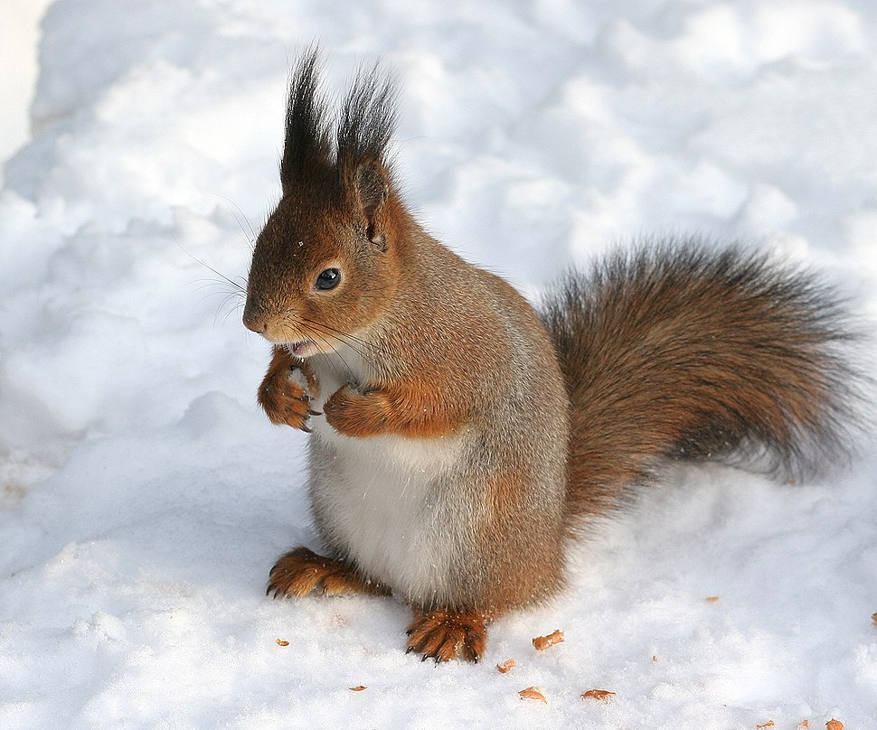 Sciurus vulgaris in snow - Helsinki, Finland