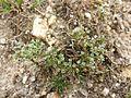 Scleranthus perennis sl1.jpg