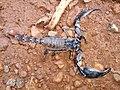 Scorpion (21).jpg