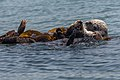 Sea Otters (Enhydra lutris), from a raft of about 15, (8625969537).jpg
