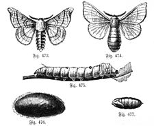 Lámina de Hubert Ludwig (Schul-Naturgeschichte, 1891). Fig 473. Macho. - Fig. 474. Hembra. - Fig. 475. Larva. - Fig. 476. Capullo. Fig. 477. Pupa (algo reducida).