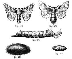 papillon bombyx دودة القز 250px-Seidenspinner-
