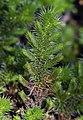 Selaginella hansenii (Hansen's spikemoss) (32939296454).jpg