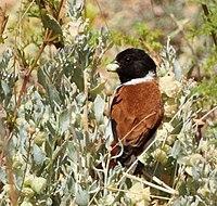 Serinus alario -near Rooifontein, Northern Cape, South Africa -male-8.jpg