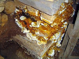 Dry rot - Damaged wall with fungal growth