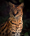Serval at Chester Zoo (EXPLORE) (9860149246).jpg