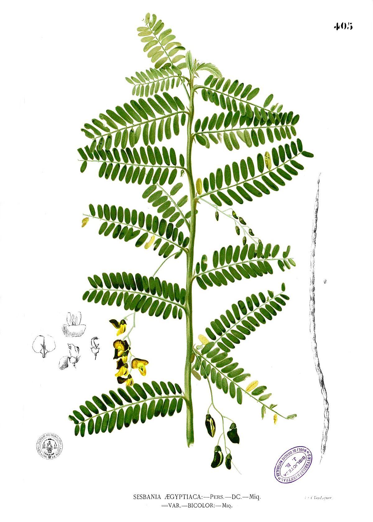 Sesbania sesban - Wikipedia