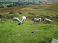 Sheep, near Bwlch Penbara - geograph.org.uk - 1410574.jpg