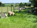 Sheep - geograph.org.uk - 181331.jpg