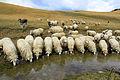 Sheeps drink from Lumbardh lake.jpg