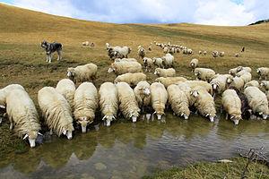 Bardoka - Bardhoka sheeps drink from Lumbardh lake in Kosovo