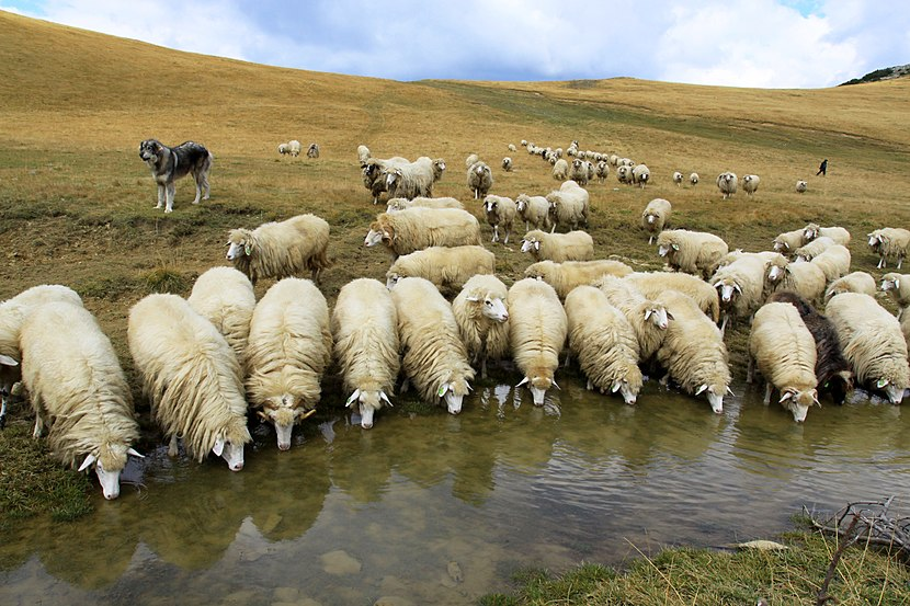 Sheeps drink from Lumbardh lake.jpg