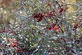 Shepherdia canadensis 02.JPG