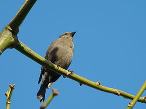 Shiny cowbird - Female shiny cowbird
