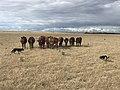 Shorthorn heifers & kelpies.jpg