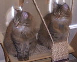 Siberian-brown-mackerel-tabby-kittens-8lbs-12months-old-sisters.jpg