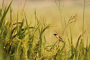 Kanwar Lake Bird Sanctuary - Image: Siberian Stonechat at Kanwar Lake