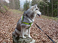 Sibirian Husky 002.jpg