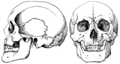 Side and front views of the skull of a Calmuck.png