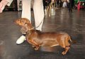 Side profile of a dachshund (8652873842).jpg